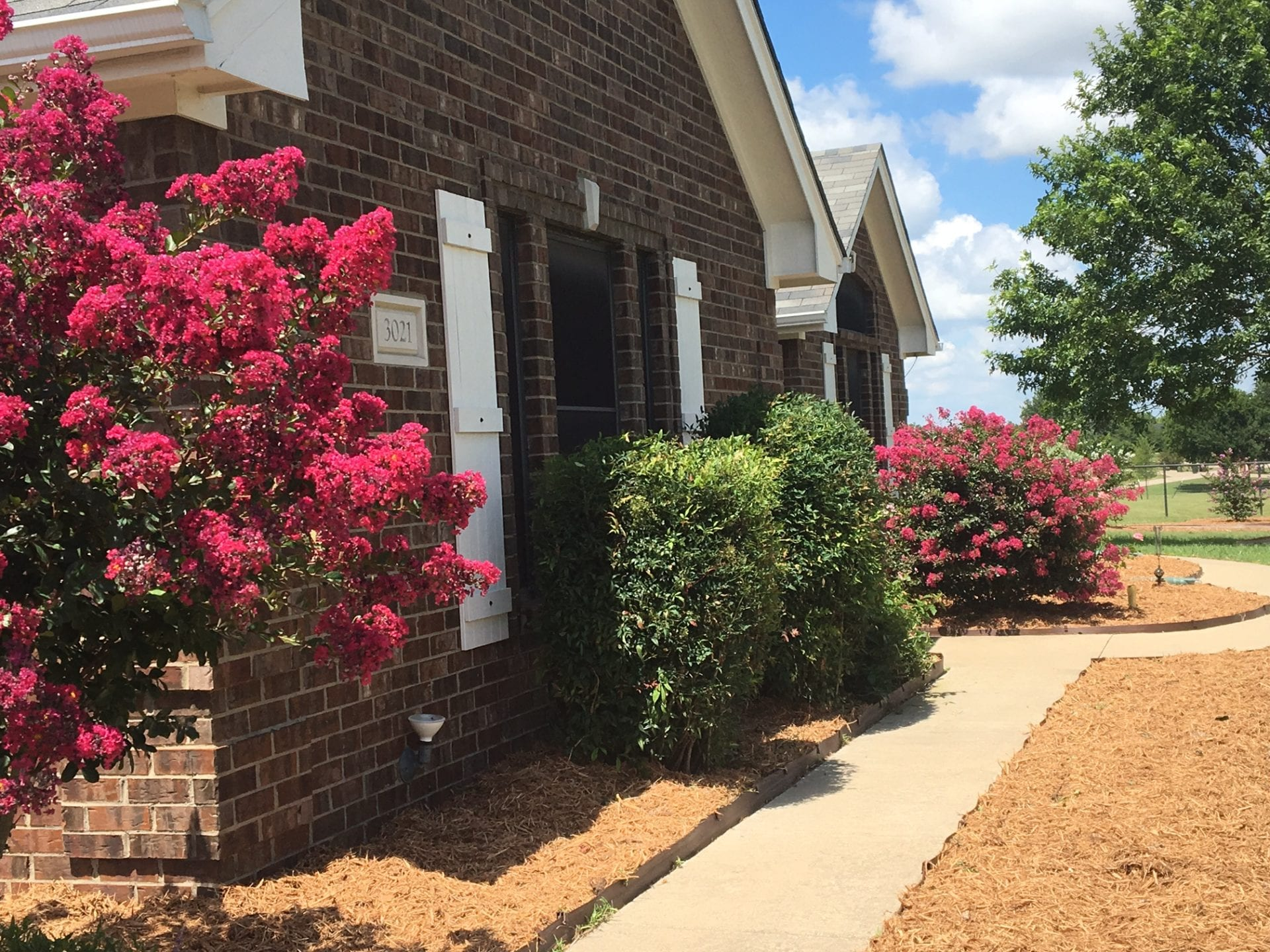 Crepe Myrtles after Mulch 2017